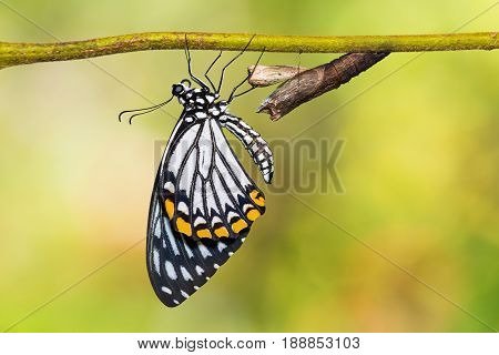 Common Mime (papilio Clytia) Butterfly