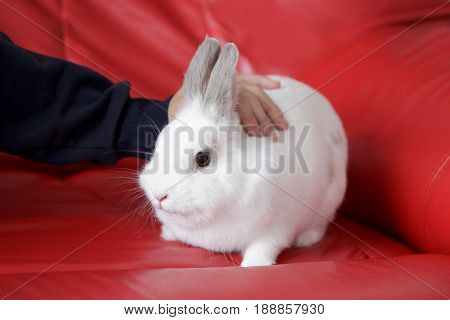 Human caress a white rabbit sitting on a red couch. Pet animals
