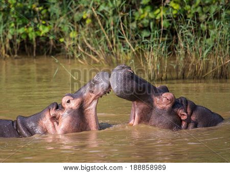 Hippopotamus Mother Kissing With Her Child In The Water At The  Isimangaliso Wetland Park, South Afr