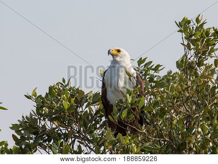 African Fish Eagle On A Tree At The  Isimangaliso Wetland Park, South Africa