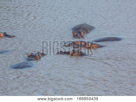 Hippopotamus In The Water At The  Isimangaliso Wetland Park, South Africa