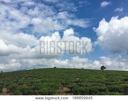 Tea Plantation In Central Highlands, Vietnam