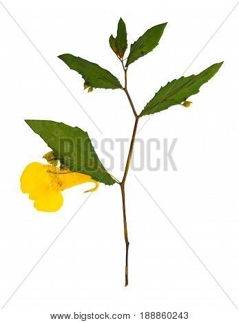 Pressed and dried delicate yellow flowers impatiens noli-tangere. Isolated on white background. For use in scrapbooking pressed floristry (oshibana) or herbarium.