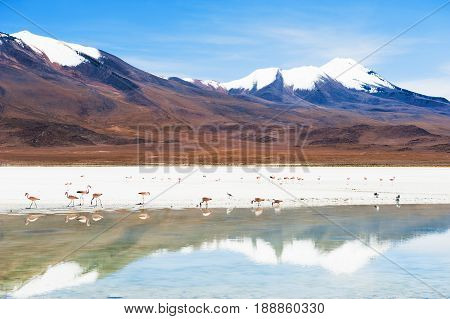 Pink Flamingo On The Lagoon, Altiplano, Bolivia