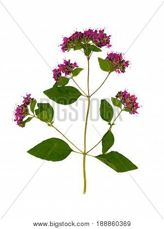 Pressed and dried flower oregano or marjoram on stem with green leaves isolated on white background. For use in scrapbooking floristry (oshibana) or herbarium.