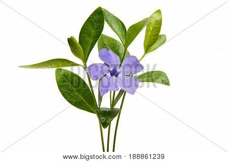 beautiful Flower vinca on a white background