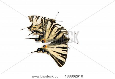 insect Butterfly sailfish on a white background