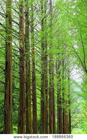 Row of green ginkgo trees in the park at Namiseom or nami Island Chuncheon-si Gangwon-do South of Korea