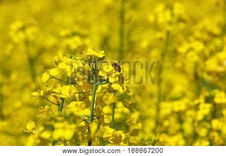 Bee Pollinating Flower Of A Rapeseed, A Beautiful Lush Field Under A Blue, Cloudless Sky On A Clear
