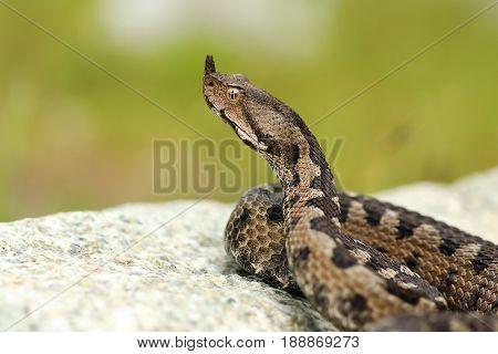 aggressive male nose horned viper on a rock ( Vipera ammodytes )