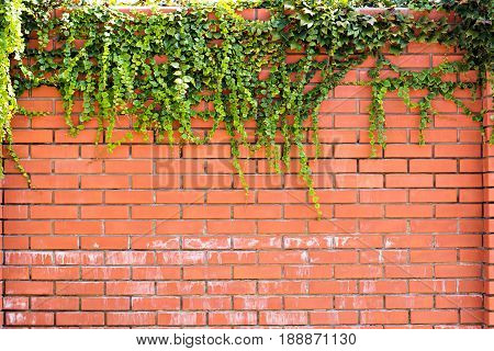 Ivy On A Brick Wall. Ivy Twists A Brick Wall.