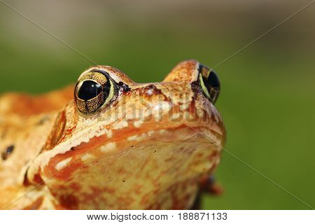 macro portrait of european common frog over green out of focus background ( Rana temporaria )