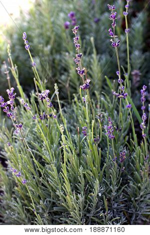 Bush Of Lavender Growing On A Flower Bed