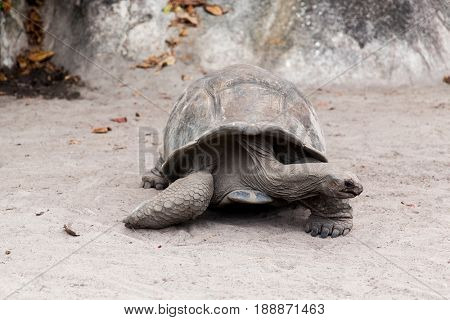 animals, fauna and nature concept - giant tortoise outdoors on seychelles