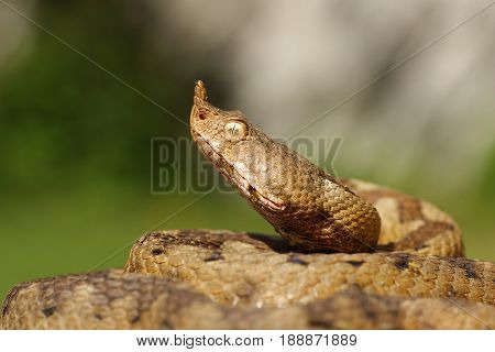 portrait of aggressive venomous snake the nose horned viper ( Vipera ammodytes female )