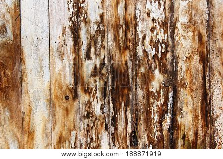 mold and fungus on damp spruce planks result of water infiltration in building