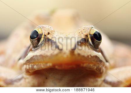 Rana dalmatina portrait the european agile frog macro image