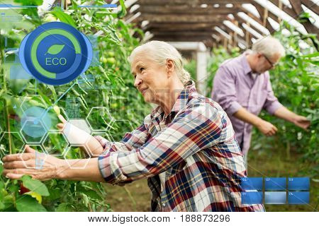 organic farming, gardening, agriculture, old age and people concept - senior woman and man harvesting crop of tomatoes at greenhouse on farm