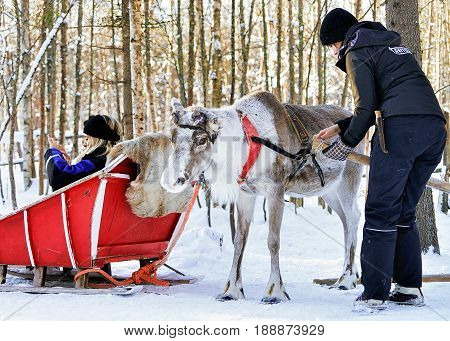 Woman At Sledge Taking Photo Of Reindeer In Winter Rovaniemi