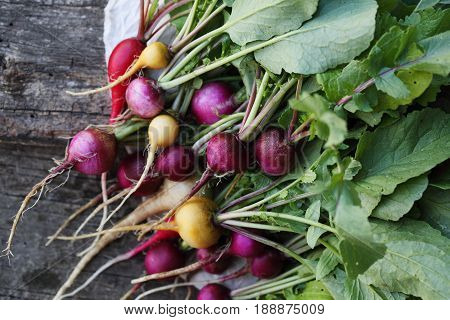 Large bunch of colorful organic radishes on the table