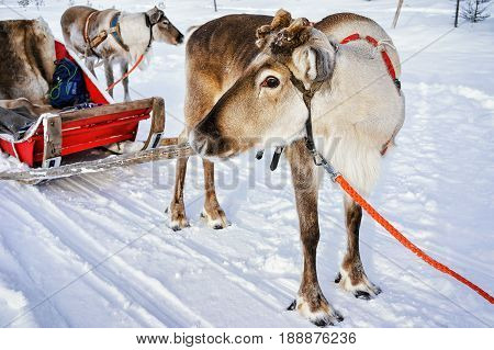 Reindeer Without Horns At Sledge In Winter Finnish Lapland