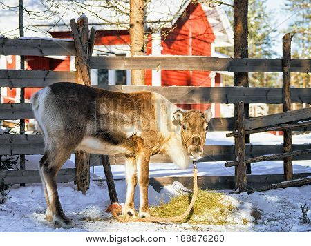 Reindeer Without Horns At Farm In Winter Finnish Lapland