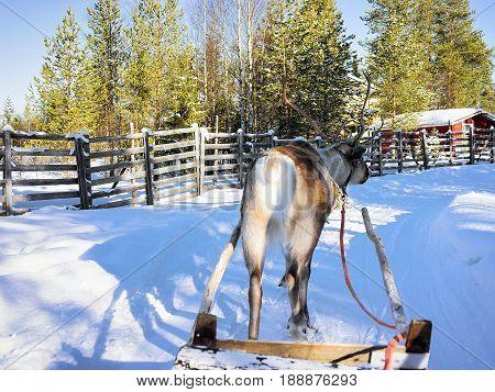 Reindeer Sledge Race In Lapland Finland