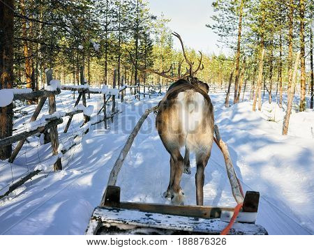 Reindeer Sledge Race Lapland Finland