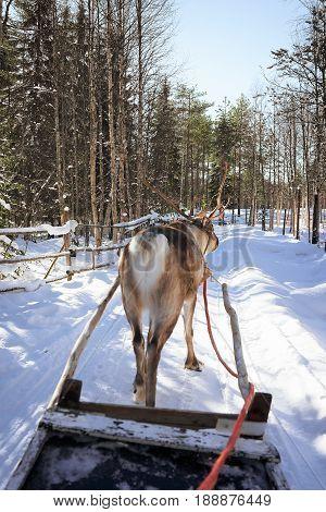 Reindeer Sled Race Lapland Finland