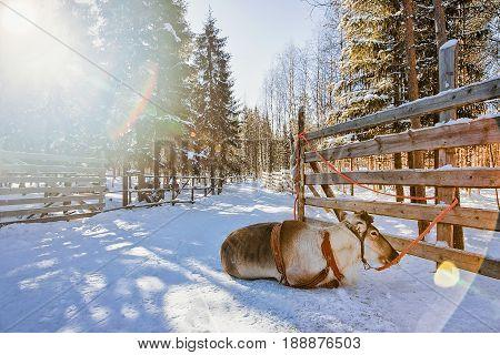 Reindeer On Winter Farm Lapland