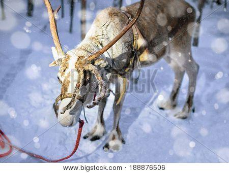 Reindeer On Farm In Lapland Finland Evening Snowfall