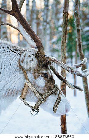 Reindeer In Winter Forest In Lapland Finland