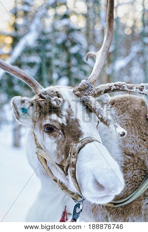 Reindeer In Winter Forest At Lapland Finland