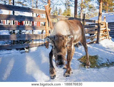 Reindeer In Winter Farm Finland