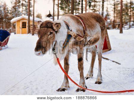Reindeer In Farm In Winter Lapland Finland