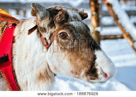 Reindeer In Farm At Winter Lapland Finland