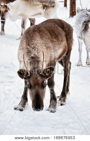 Reindeer At Winter Farm In Lapland