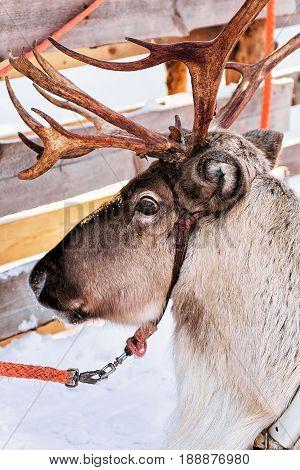 Reindeer At Winter Farm In Lapland Finland
