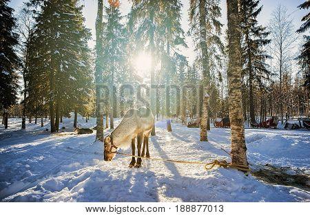 Reindeer At Winter Farm Finland
