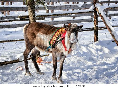 Reindeer At Farm In Winter Finnish Lapland