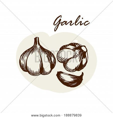 Vector hand drawn garlic. Herbs and spices sketch illustration