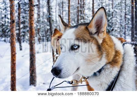 Husky Dog In Sleigh In Finnish Lapland