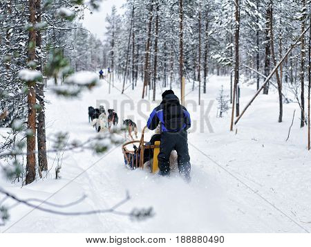 Family Riding Husky Dogs Sled In Finnish Lapland