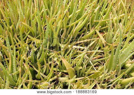 fresh green Aloe vera plants in nature garden