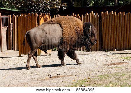 Buffalo close up walking in the sun