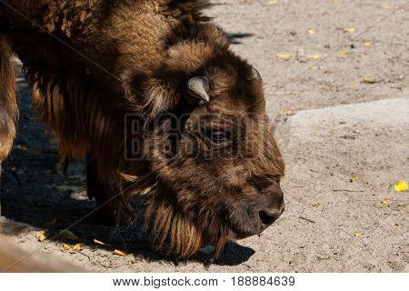 Buffalo head ( zoo ) close up