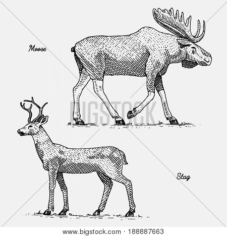 moose or eurasian elk and stag or deer, hand drawn, engraved wild animals in vintage or retro style, zoology set.