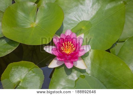 This beautiful waterlily or lotus flower is complimented by the rich;Beautiful lotus flower is the symbol of the Buddha Thailand.