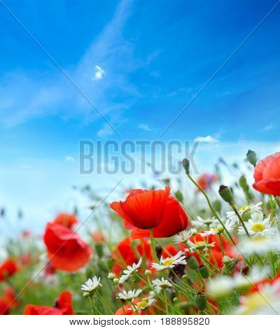 Red flowers poppies landscape on green field, sky and clouds