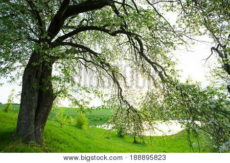 Spring meadow with tree, with flowers fresh green leaves.